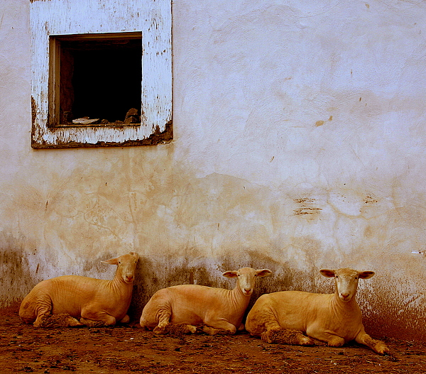 Three Wise Sheep Print by Maggie McLaughlin