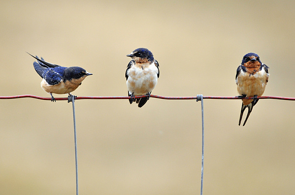 Three Young Swallows Print by Laura Mountainspring