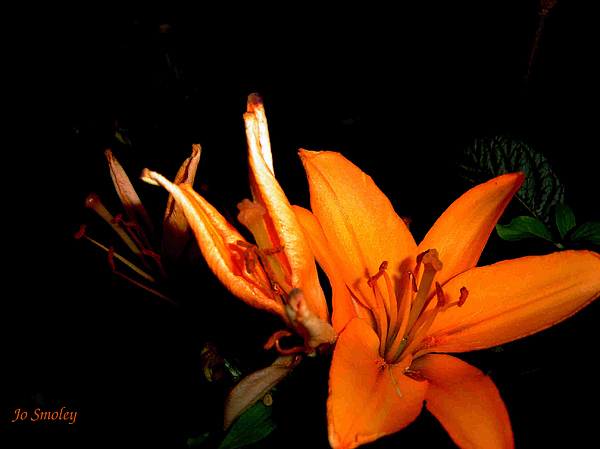 Tiger Lily Print by Joanne Smoley