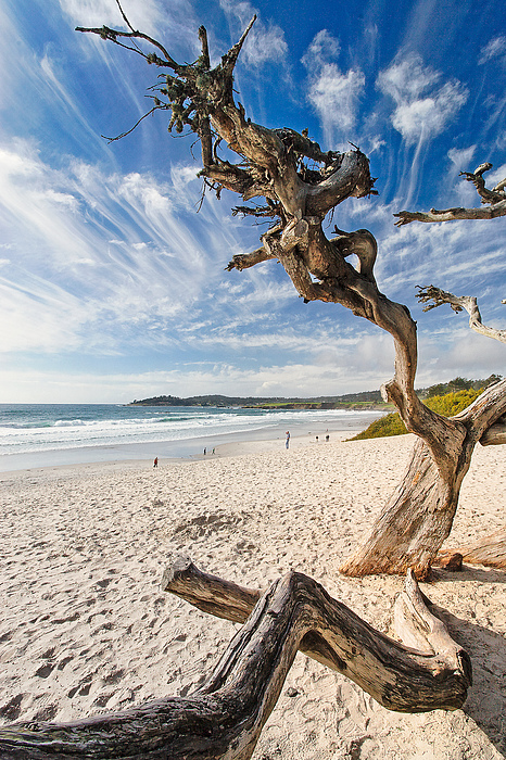 Tree On A Beach Carmel By The Sea California Print by George Oze
