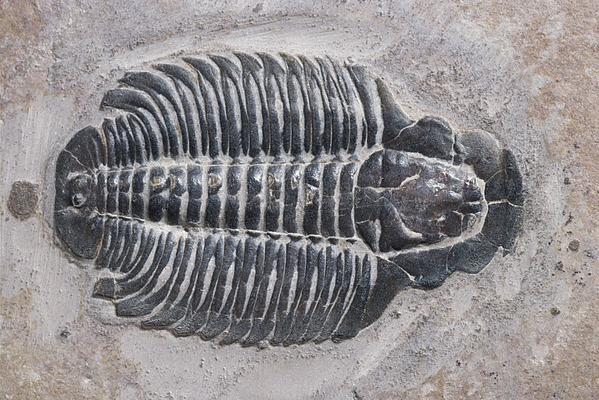 Trilobite Print by Robert J Erwin and Photo Researchers