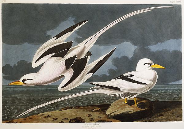 Tropic Bird Print by John James Audubon