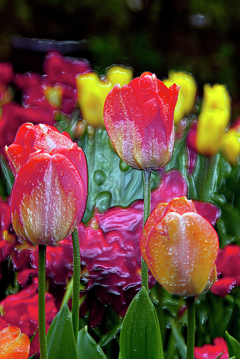 Tulip Candy Print by Don  Wright