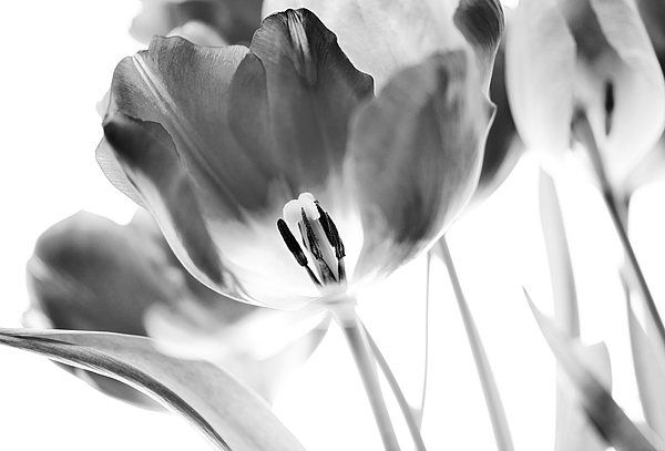 Tulips Print by Silke Magino