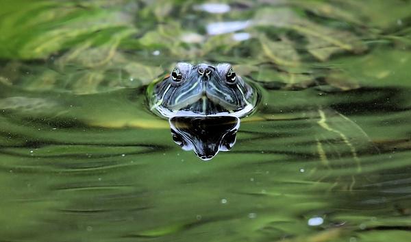 Turtle Head Print by Karol  Livote