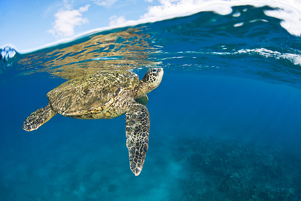 Turtle Taking A Breath Print by Dave Fleetham - Printscapes