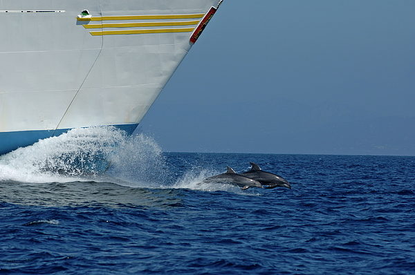 Two Bottlenose Dolphins Swimming In Front Of A Ship Print by Sami Sarkis
