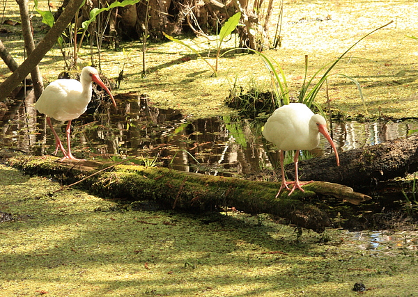 Two Ibises On A Log Print by Carol Groenen