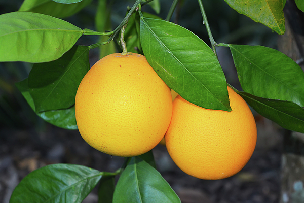 Aimee L Maher Photography and Art Visit ALMGallerydotcom - Two Oranges