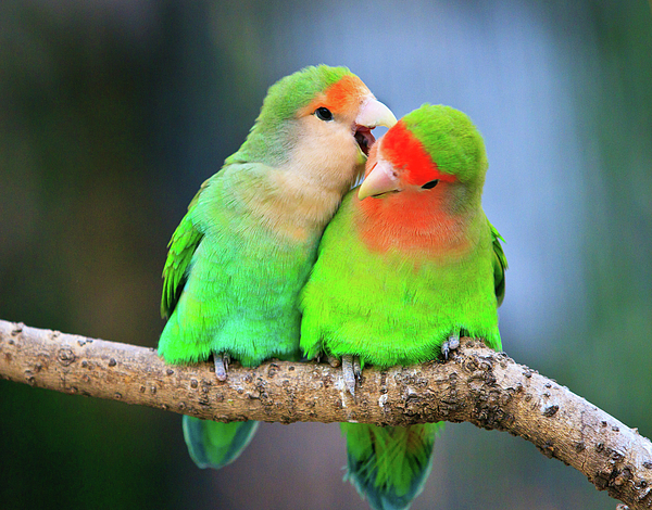 Two Peace-faced Lovebird Print by Feng Wei Photography