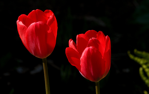 Two Red Tulips Print by Steve Augustin