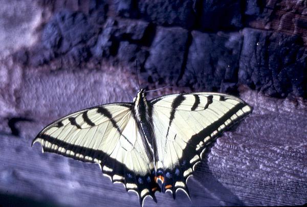 Two Tail Swallowtail Print by Chris Gudger