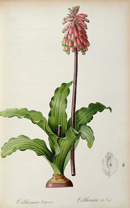 Veltheimia Capensis Print by Pierre Joseph Redoute