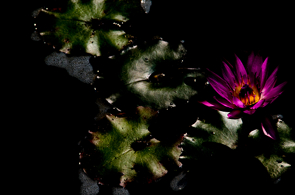 Water Lily At Dusk Print by Venetta Archer