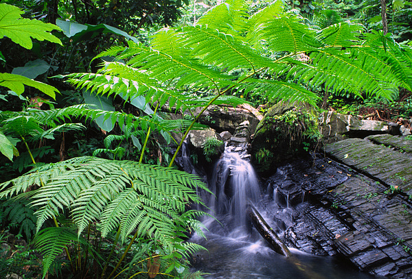 Waterfall And Tree Fern Print by Thomas R Fletcher
