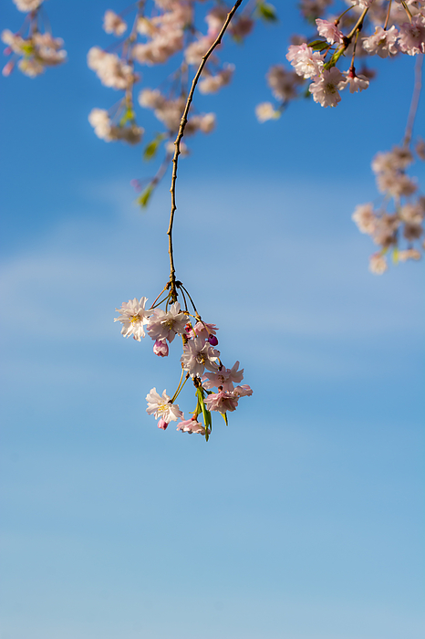 Weeping cherry tree branch 3 by tracy winter - Romanian cherry tree varieties ...