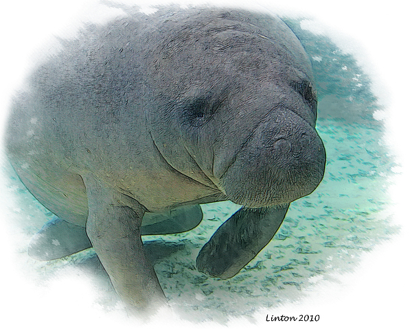 West Indian Manatee Print by Larry Linton