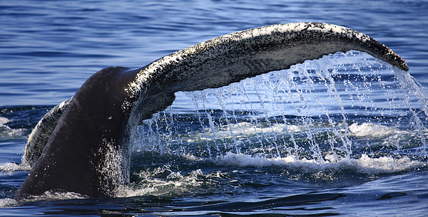 Whale Tail Print by Dapixara Art