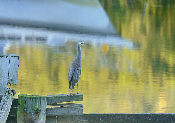 White Faced Heron With Reflections Print by Barry Culling