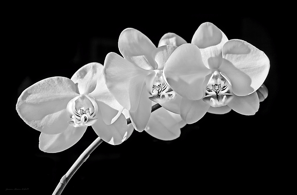 White Orchid Flowers Black And White by Jennie Marie Schell