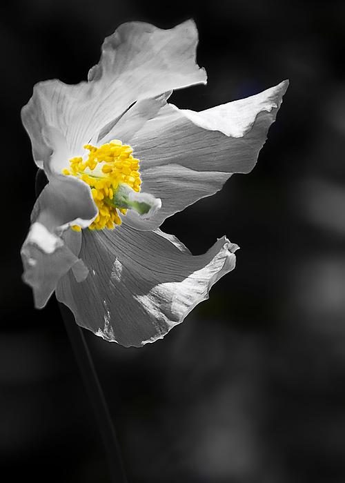 White Poppy Print by Svetlana Sewell
