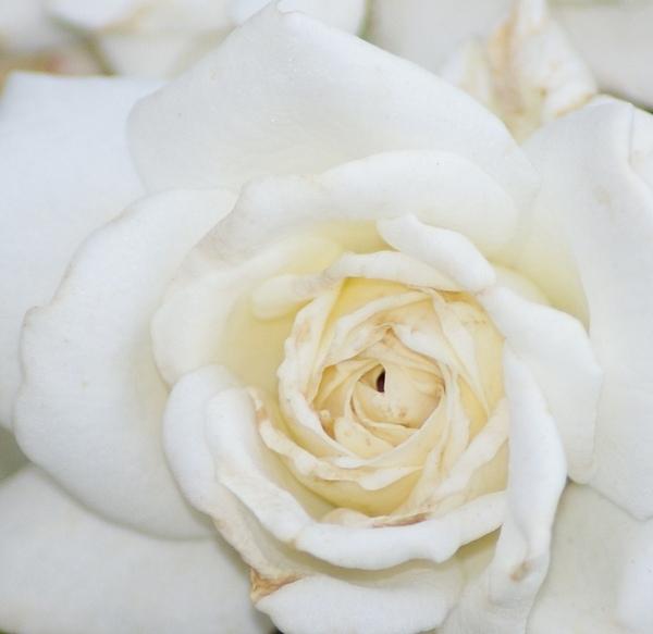White Rose Print by Liz Vernand