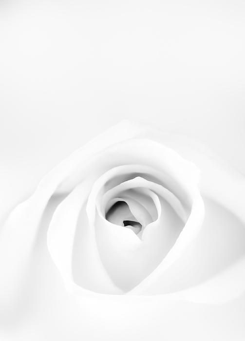 White Rose Print by Scott Norris