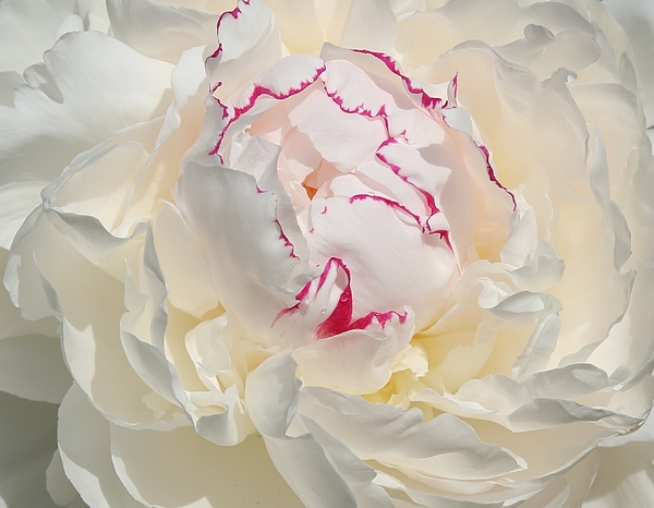 Lynn Hopwood - White with dark pink peony