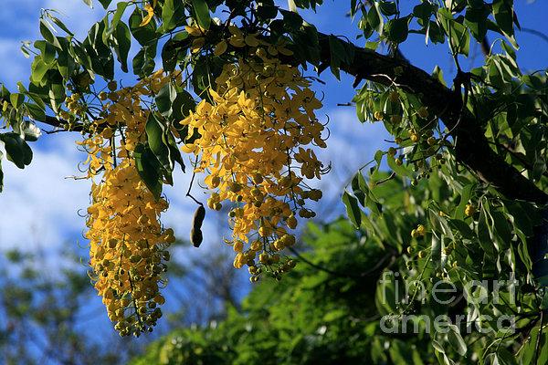Wilhelmina Tenney Rainbow Shower Tree Makawao Maui Flowering Trees Of Hawaii Print by Sharon Mau