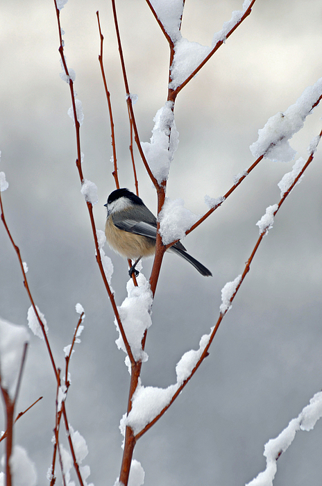 Winter Chickadee Print by Diane E Berry