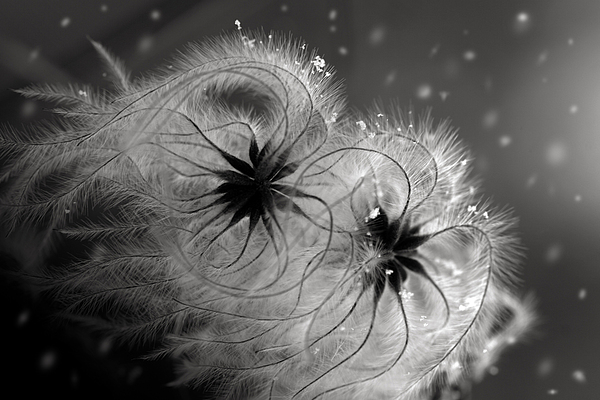 Winter Flower Print by Floriana Barbu