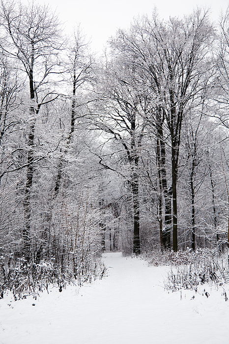 Winter In The Forest Print by Gabriela Insuratelu