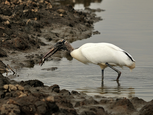 Wood Stork With Fish Print by Al Powell Photography USA
