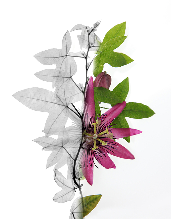 X-ray Of A Passion Flower Print by Ted Kinsman