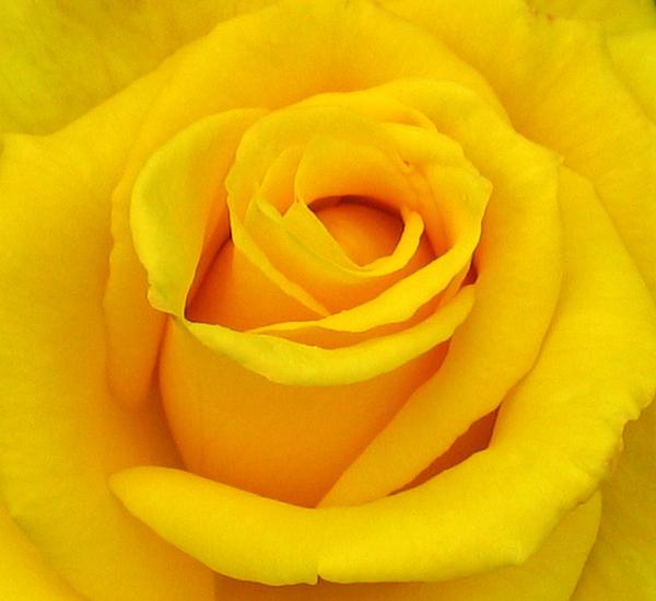 Yellow Beauty Print by Mg Rhoades