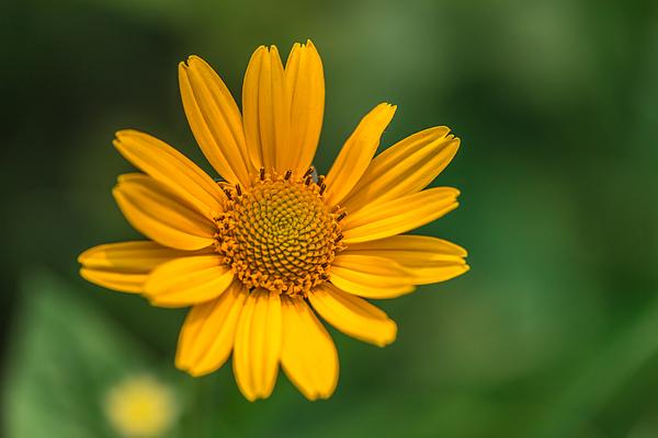 Gordon Pusnik - Yellow Flower