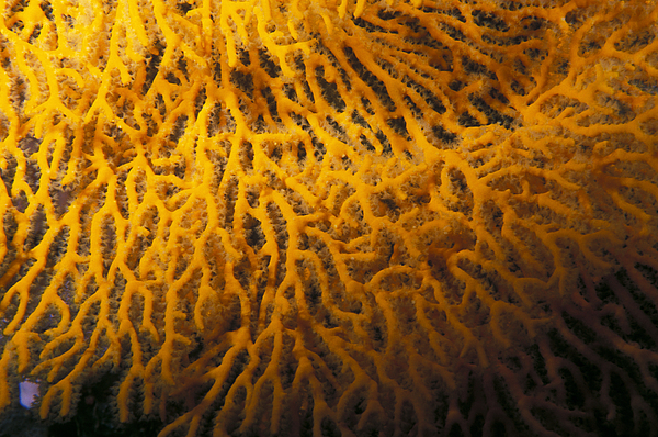 Yellow Gorgonian Sea Fan, Mopsella Print by James Forte