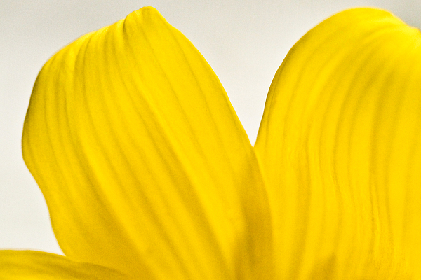Yellow Petals Print by Ryan Kelly