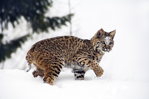 Young Bobcat Playing In Snow Print by Melody Watson