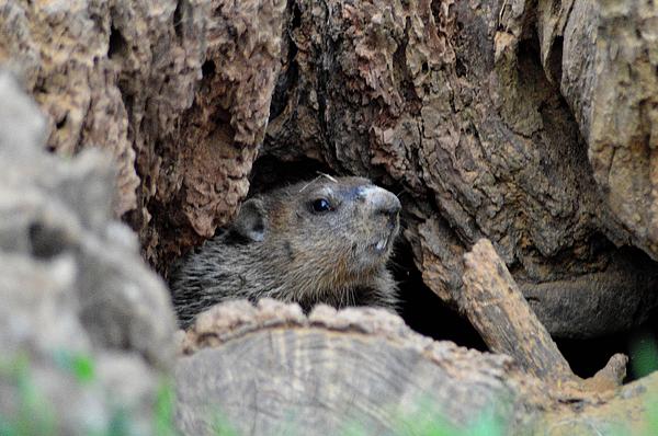 Young Groundhog In Its Burrow By Belinda Stucki