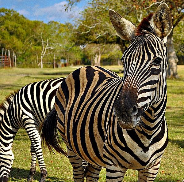 Zebra Print by John Collins