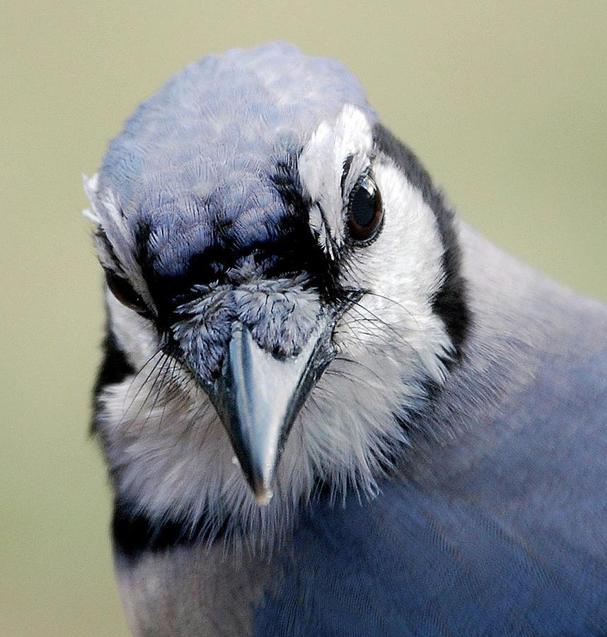Bird Photograph -  Blue Jay by Skip Willits