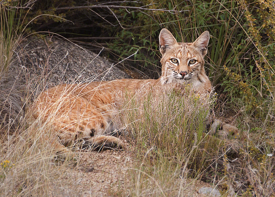 Wild Animal Photograph -  Bobcat At Rest by Alan Toepfer