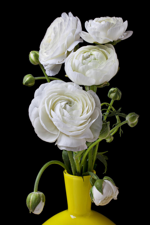 White Ranunculus In Yellow Vase Photograph