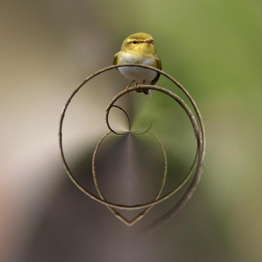 Wood Warbler Photograph