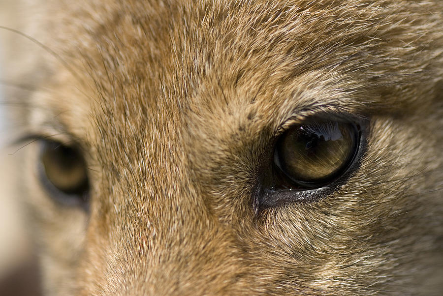 Nobody Photograph - A Coyote At A Wildlife Rescue Members by Joel Sartore