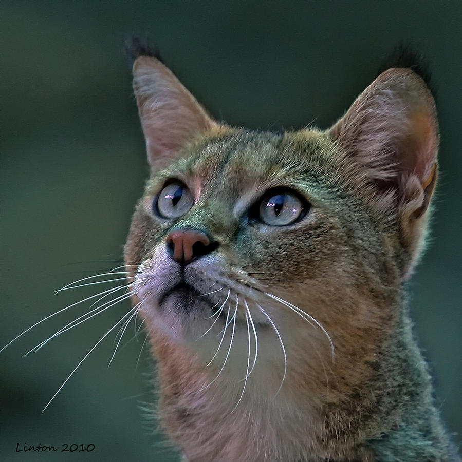 African Wild Cat Photograph - African Wild Cat by Larry Linton