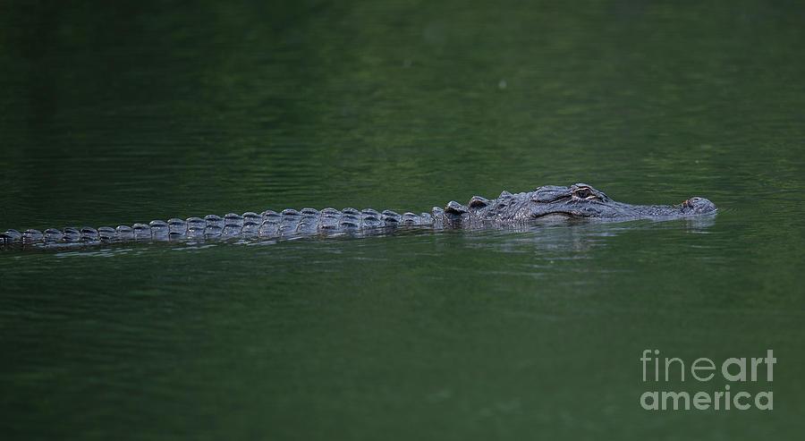 American Alligator On The Hunt Photograph