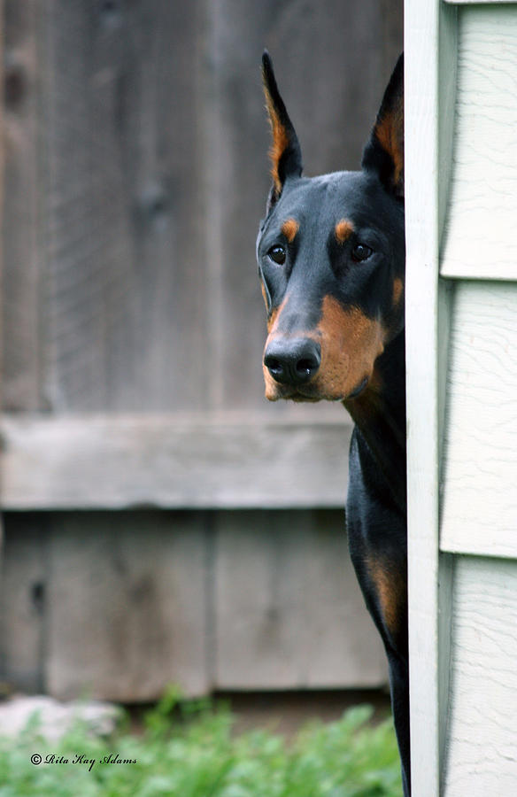 Doberman Photograph - Attentive by Rita Kay Adams