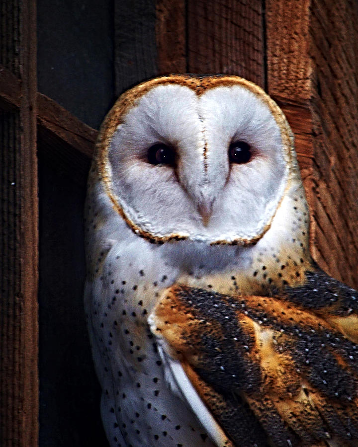 Digital Painting Photograph - Barn Owl  by Anthony Jones